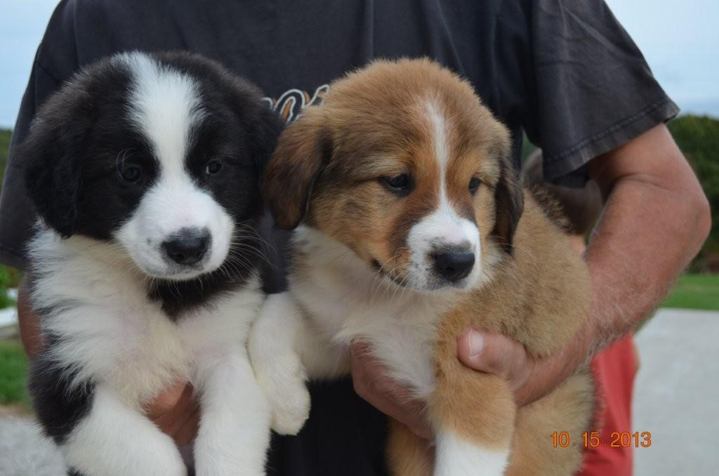English Shepherd Puppies | Puetz Family Ranch